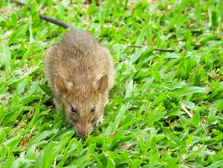 cautious: Cautious Brown rat in the wild
