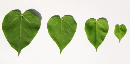 peepal tree: Green bodhi leaf isolated on white background