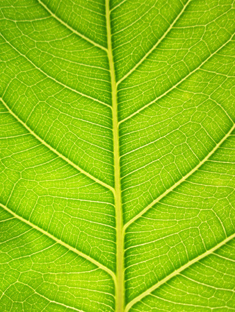 fig leaf: Texture of Bodhi or Sacred fig leaf