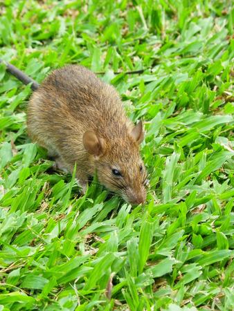 norvegicus: Cautious Brown rat in the wild