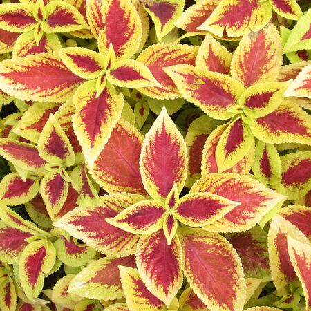 contiguous: Ornamental plants in red pots Stock Photo