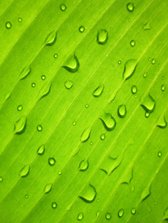 to plant: Beautiful Green Banana Leaf with Water Drops