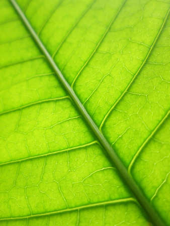 mango leaf: Pattern of green mango leaf Stock Photo