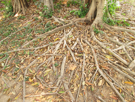 Tree roots on the ground photo
