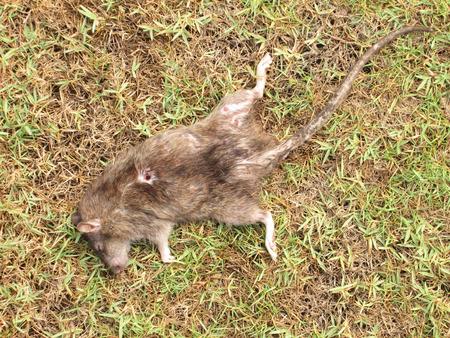 exterminate: Dead rat on the grass