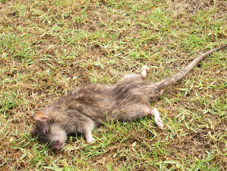 dead rat: Dead rat on the grass