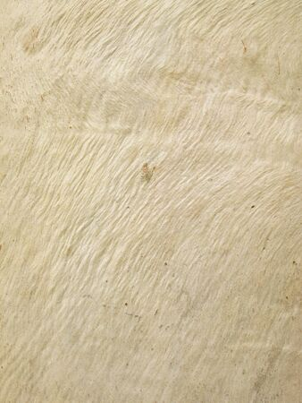 eucalyptus tree: Eucalyptus tree bark texture Stock Photo