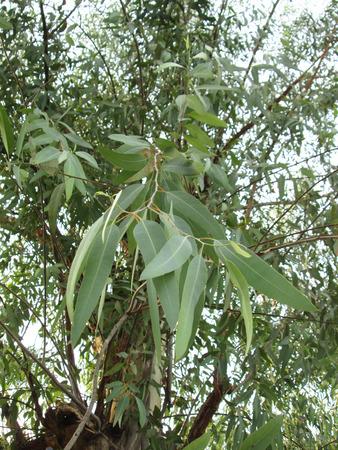 유칼립투스 나무 잎 스톡 콘텐츠