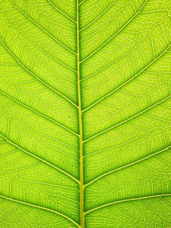 green bodhi leaves