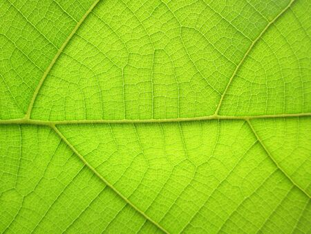 pattern of green teak leaf