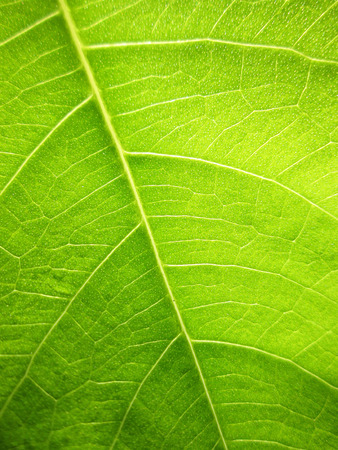 green lines: green bodhi leaves