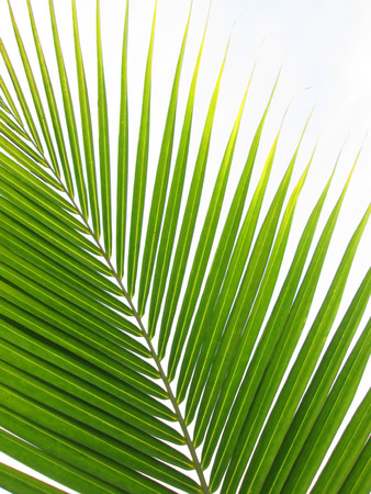 droop: Green palm tree on white background Stock Photo