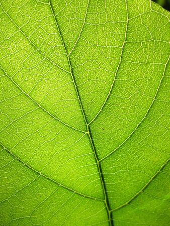 cell growth: Texture of a green leaf as background Stock Photo