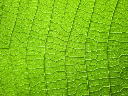 teak: pattern of green teak leaf