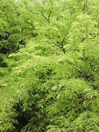 tamarindo: Tamarind ramas de los árboles de fondo