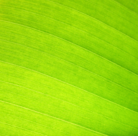 Texture background of backlight fresh green Leaf
