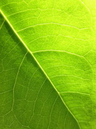 bod: green bodhi leaves