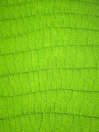 녹색 티크 잎의 패턴