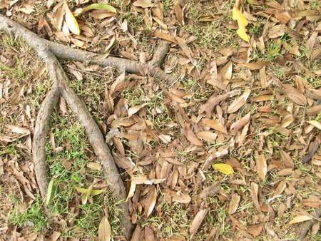 strong foundation: Tree roots with dry leaves on the ground
