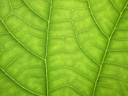 cell growth: macro pattern of green growing leaf surface Stock Photo