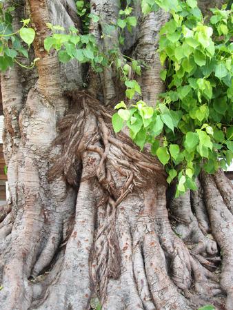 peepal tree: bodhi tree
