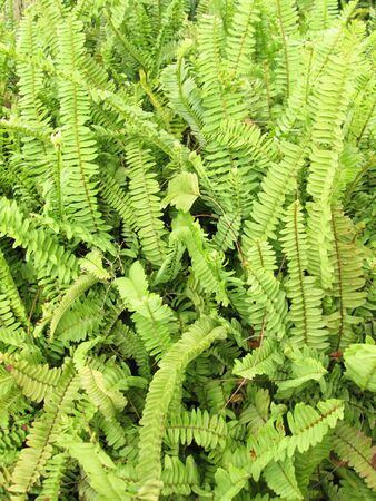 chlorophyl: green fern as a background Stock Photo