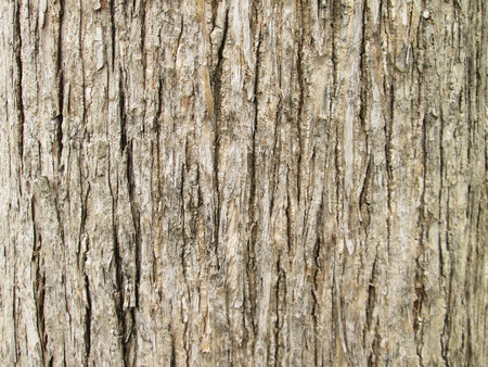 bark background: Texture of teak tree bark background