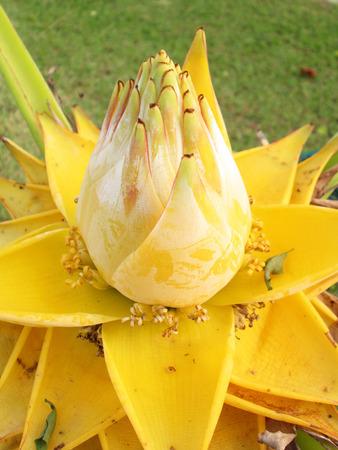 golden: golden flower banana Stock Photo