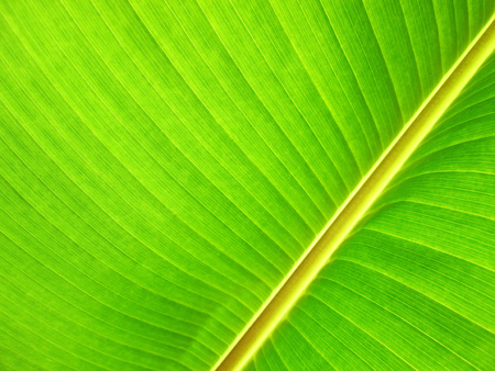 veining: Close up of fresh banana leaf. Banana leaf texture