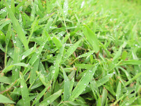 soggy: Close up of fresh thick grass with water drops in the early morning
