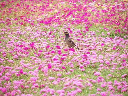 common myna bird: Common myna (Acridotheres tristis) birds on Common Purslane flowers Stock Photo