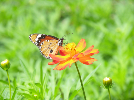 bluet: Beautiful butterfly on a blossom cosmos flower Stock Photo