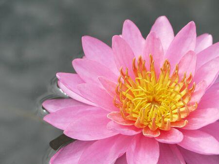 waterlily: A beautiful closeup pink waterlily or lotus flower