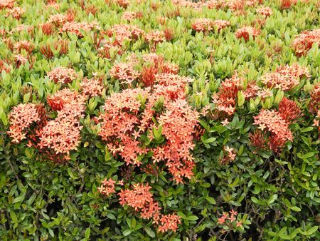 ixora: ixora flower Stock Photo