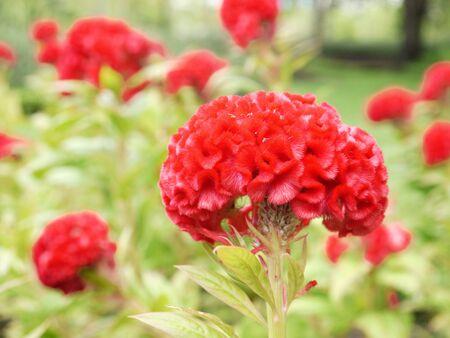 cockscomb: Beautiful Cockscomb Flower In The Garden