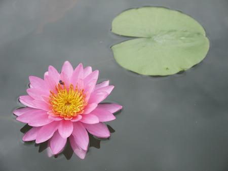 garden pond: pink lotus