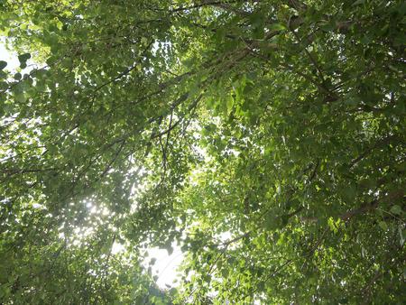 bod: bodhi tree