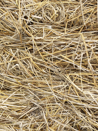 bundled: Hay background as a front view of a bale of hay as an agriculture farm and farming symbol of harvest time with dried grass straw as a bundled tied haystack