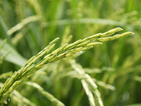 plant seed: Paddy rice - Rice field - plant - seed Stock Photo