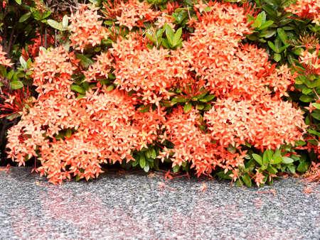 geranium color: ixora flower Stock Photo