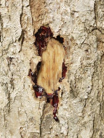 samanea saman: Texture tree bark of yang( Dipterocarpus alatus Roxb ). Stock Photo