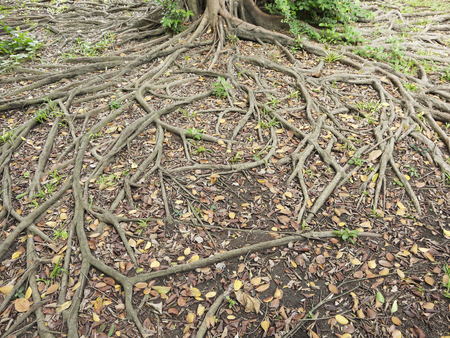 strong foundation: Tree roots on the ground Stock Photo