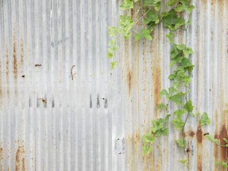 Green ivy on rusty zinc fence background Stock Photo