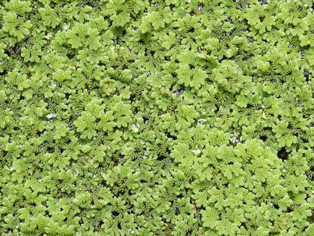 duckweed: Texture of Duckweed, Mosquito fern Stock Photo