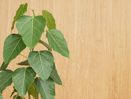 hindues: Bodhi or Peepal Leaf from the Bodhi tree, Sacred Tree for Hindus and Buddhist Foto de archivo