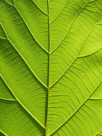green leaf texture ( teak leaf )