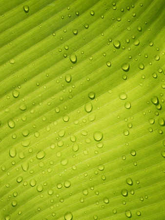 nature wallpaper: Water drops on Banana Leaf Fresh Stock Photo