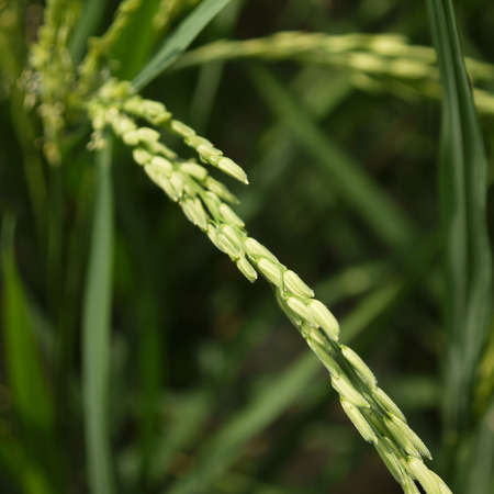 plant seed: closeup Paddy rice - Rice field - plant - seed Stock Photo