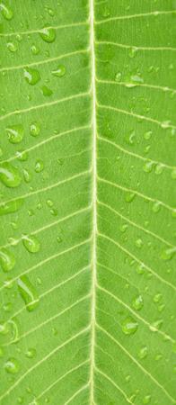 kropla deszczu: closeup water drop on green leaf