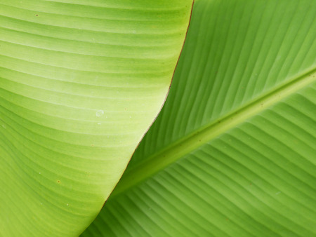 tree detail: banana leaf close up